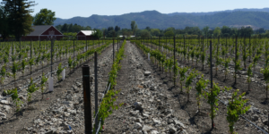 The Lifecycle of Wine: From Farm to Table P